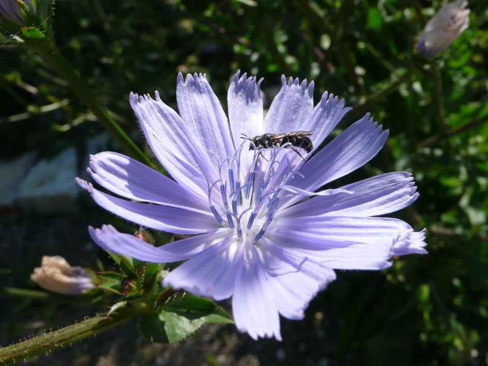 kleine Biene auf lila Blumenkopf