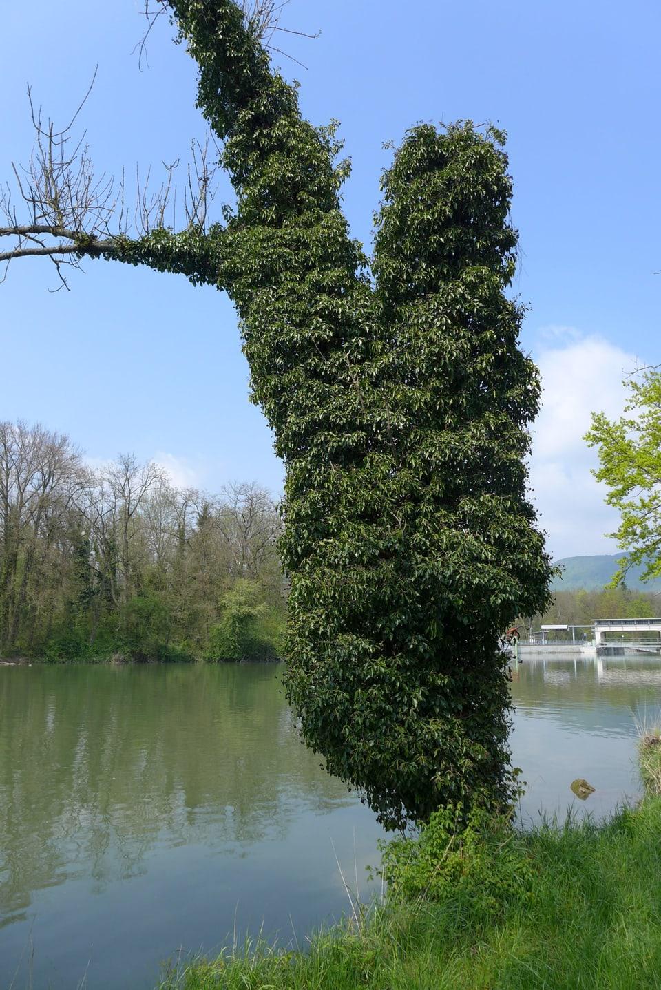 Baumstamm überwachsen mit Efeu