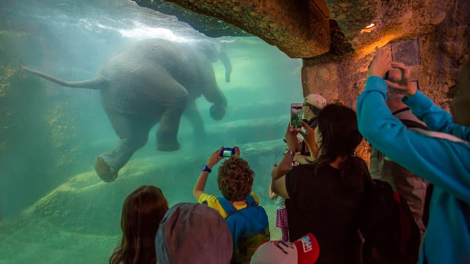 Elefant schwimmt im Zürich Zoo unter Wasser vor Publikum