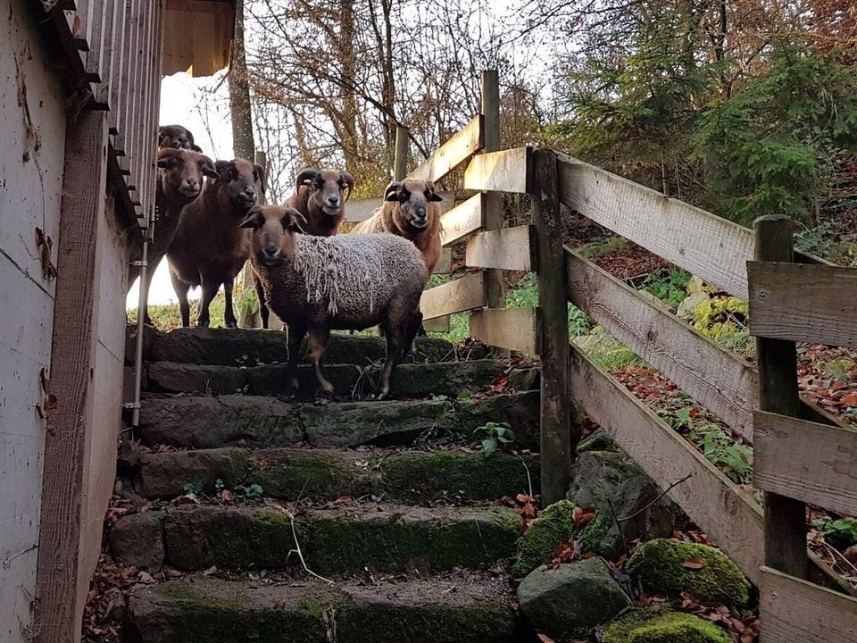Schafe in der Herde.
