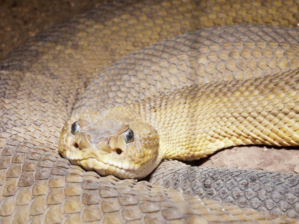 Gelbe Schlange, die nicht züngelt.