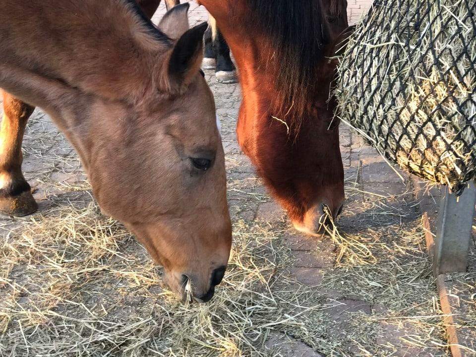 Pferde fressen Heu.