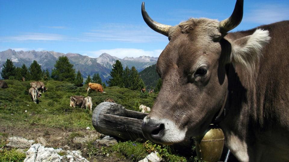 Kuh-Kitsch: Kühe für die Postkarte – die Wirklichkeit auf den Alpen sieht oft anders aus (Grossaufnahme einer Kuh auf einer Alpweide mit Panorama im Hintergrund).