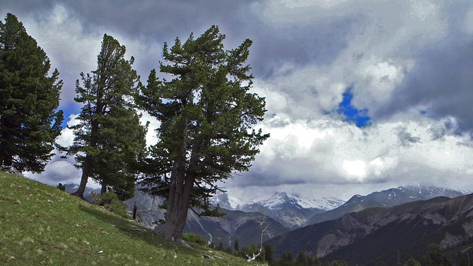 Wilde Schönheit: Natur pur ohne Eingriffe des Menschen soll im Schweizerischen Nationalpark für alle Zukunft erhalten bleiben. (allein stehende Arve im Hang)