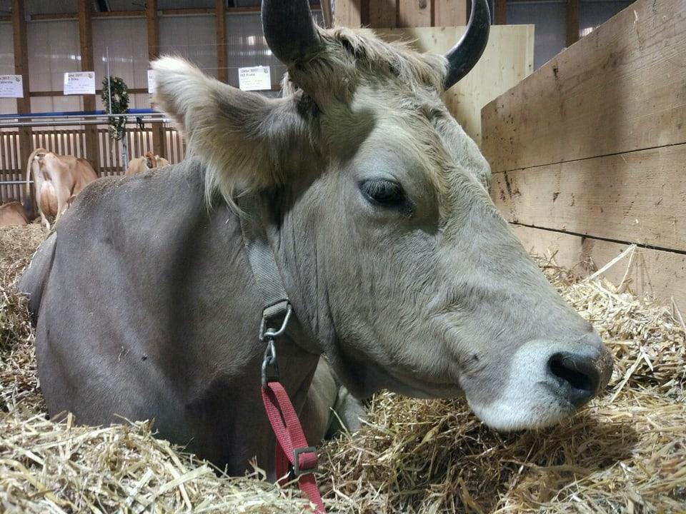 Eine Kuh sitzt im Stroh.