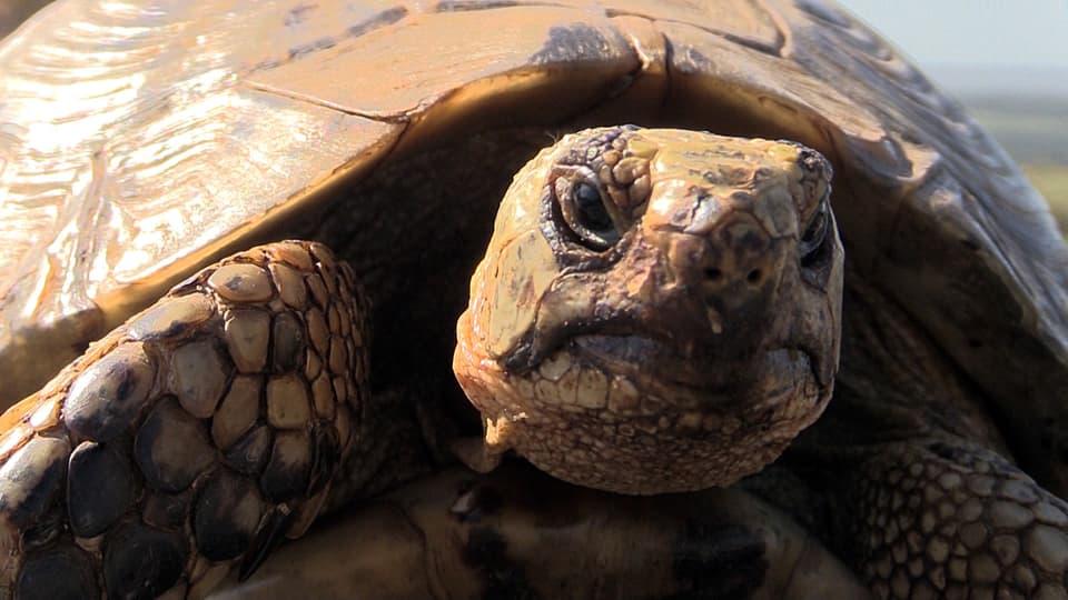 Schildkröte schaut in die Kamera