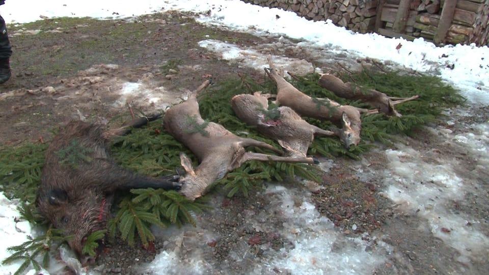 Geschossene Rehe und ein Wildschwein liegen auf Tannenreisig.