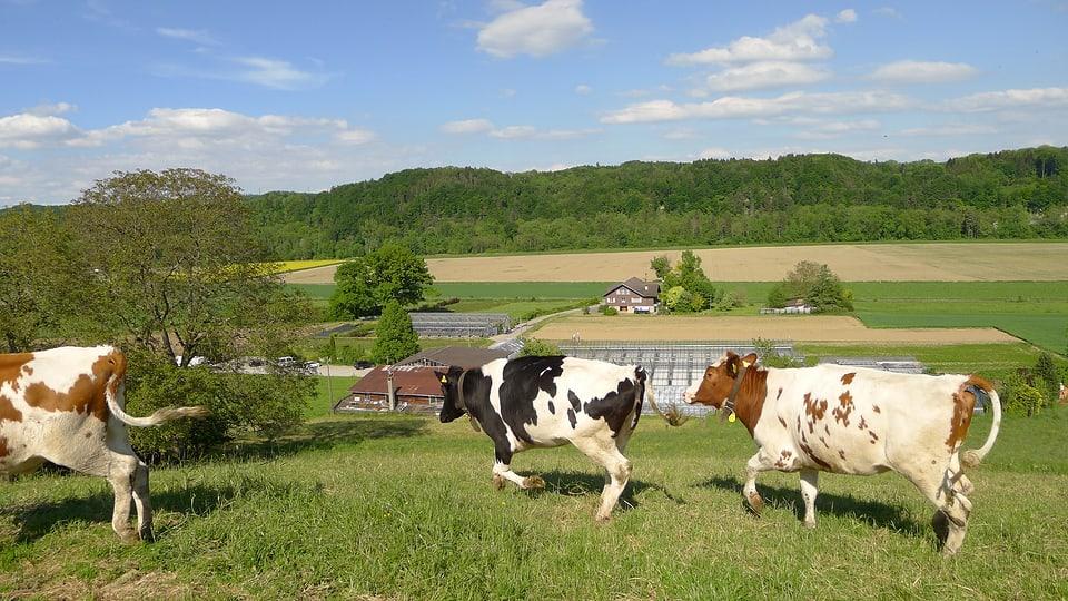Die Gärtnerei Linder liegt mitten im Grünen - zwischen Gümmenen und Laupen. Im Vordergrund traben braun-weiss und schwarz-weiss gescheckte Kühe über die Weide.
