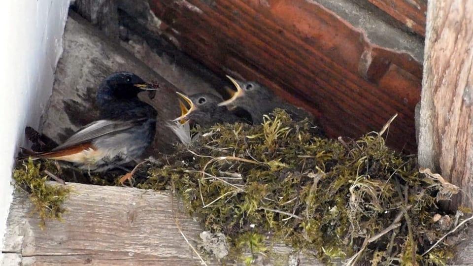 Ein Hausrotschwanz füttert seine Jungen im Nest.