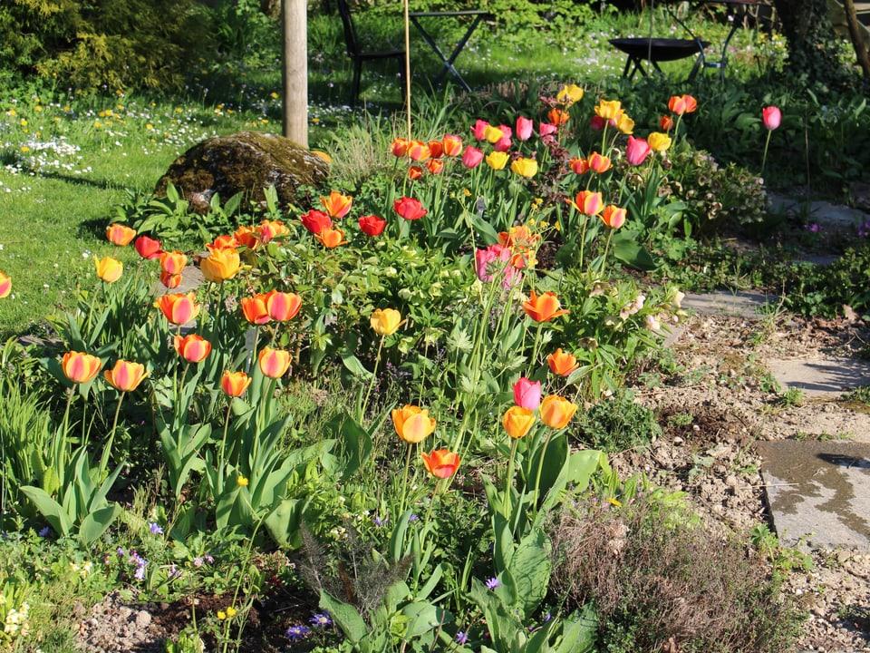 vielen Tulpen im Garten
