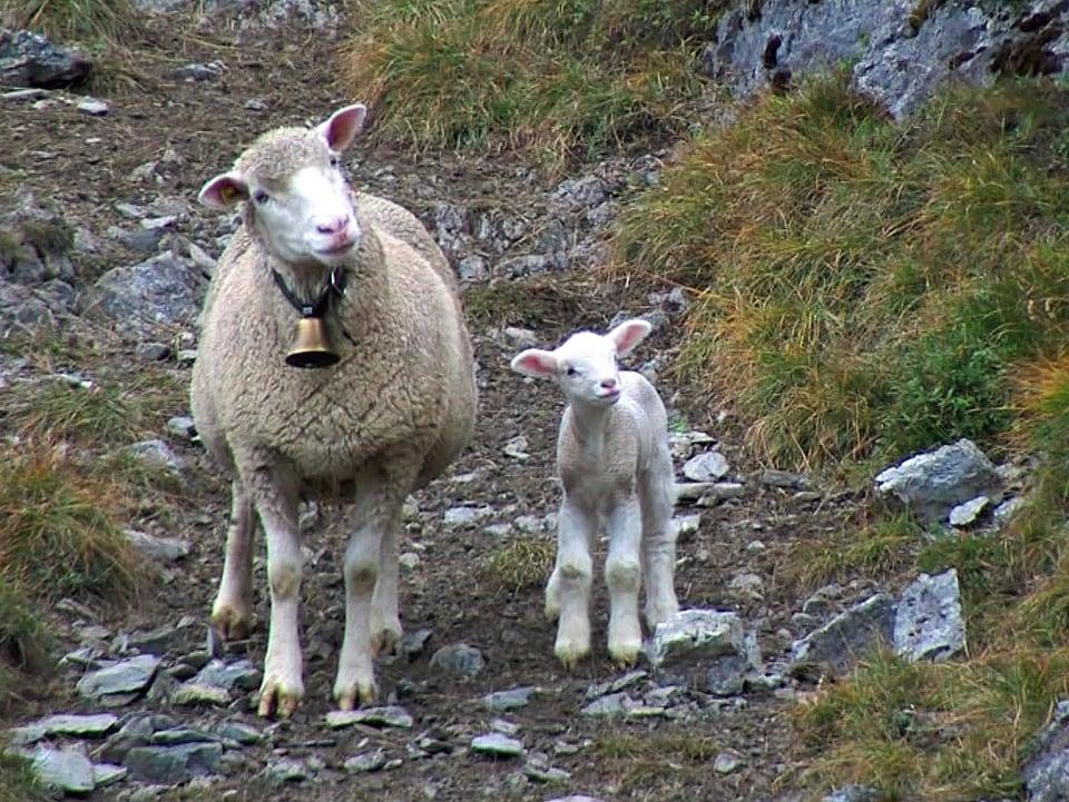 Schutz für Schafe: Viele Schafe leiden während der Alpzeit an Krankheiten, weil sie ungenügend gehütet und gepflegt werden. (Mutterschaf mit Lamm)