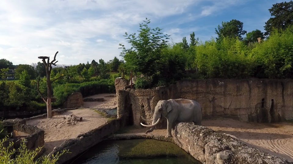 Elefant Maxi steht in Elefantenanlage
