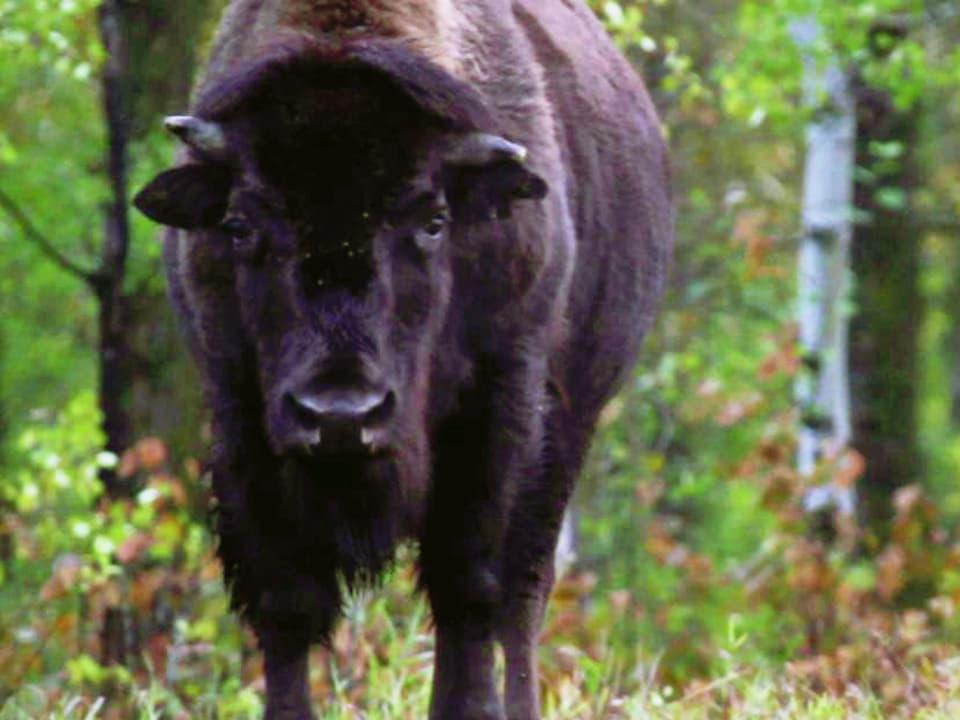 Alles aus Bison: Viele Indianer waren von den Bisons abhängig (Grossaufnahme von weiblichem Tier)