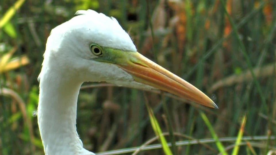 Stechende Augen: Einmal im Visier, hat der Fisch gegen den Schnabel des Silberreihers kaum noch eine Chance. (Porträtfoto eines Silberreihers)
