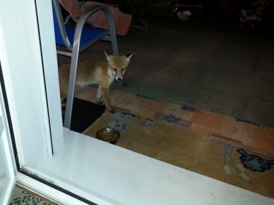 Kleiner Fuchs vor der Balkontüre.