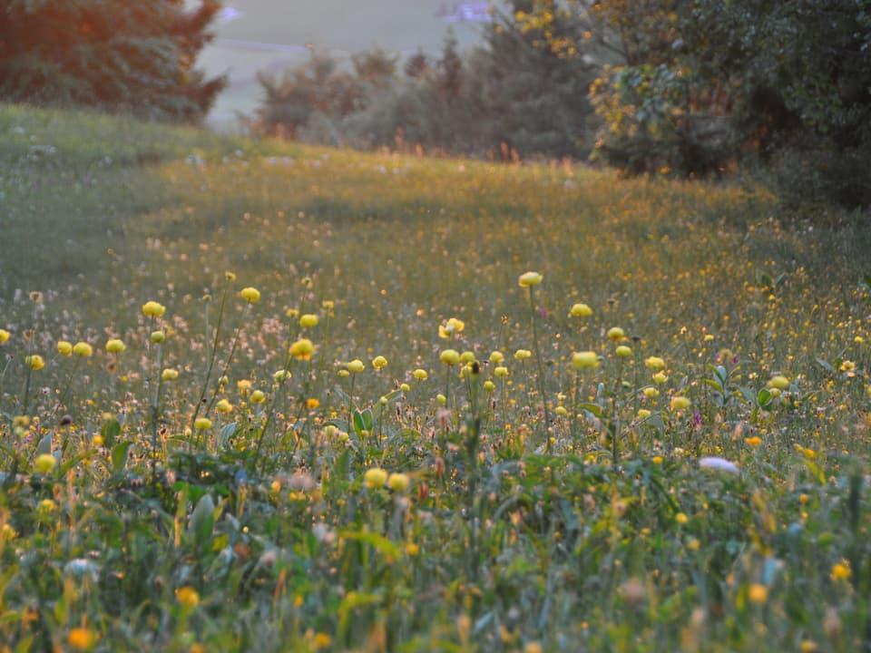 Trollblumen im Abendlicht am Rand des Flachmoors «Sumpfweide» im Wilderenbüel.
