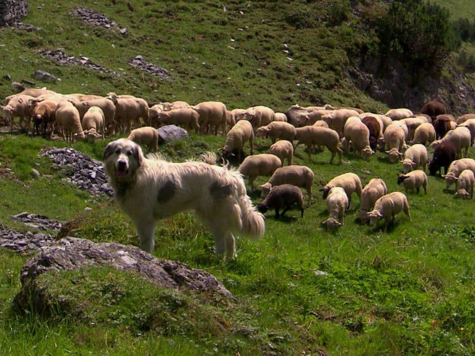 Schutz vor dem Wolf: Ohne Herdenschutzhunde sind im Wolfsgebiet in den Alpen Verluste vorprogrammiert. (Ein Herdenschutzhund steht bei einer Schafherde)