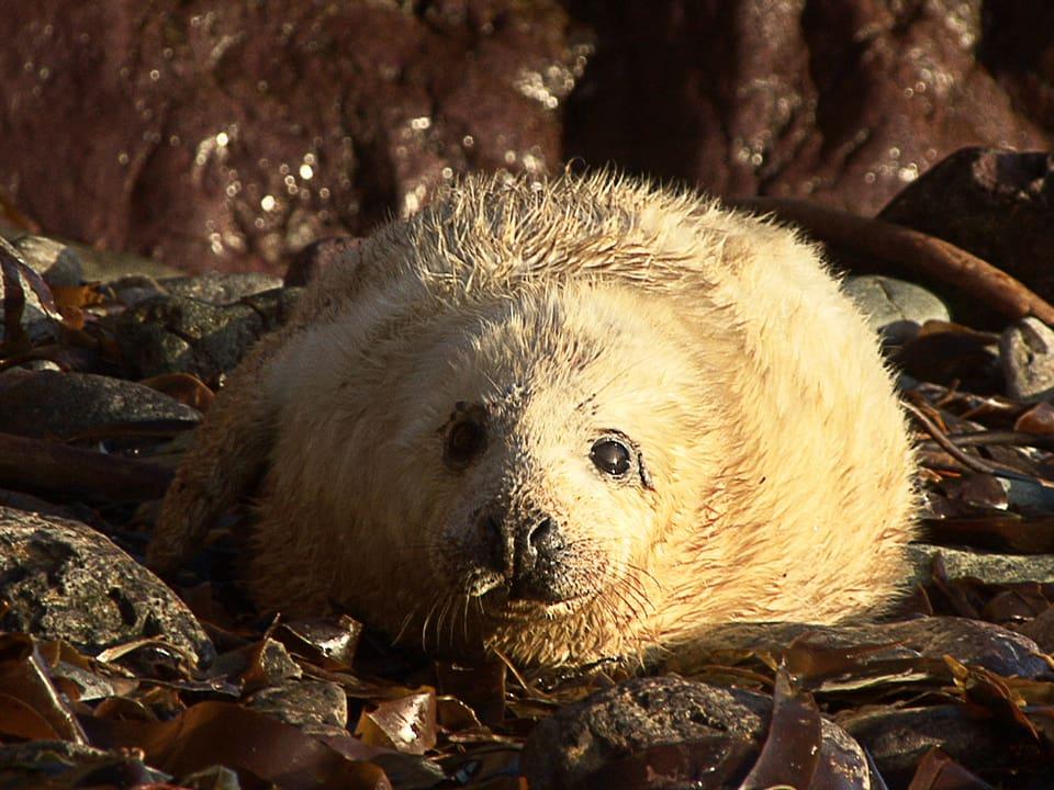 """Voll """"jöh"""": Robbenbabies lassen niemanden kalt – wenn sie dann auch noch rufen, schmilzt das Herz vollends."""