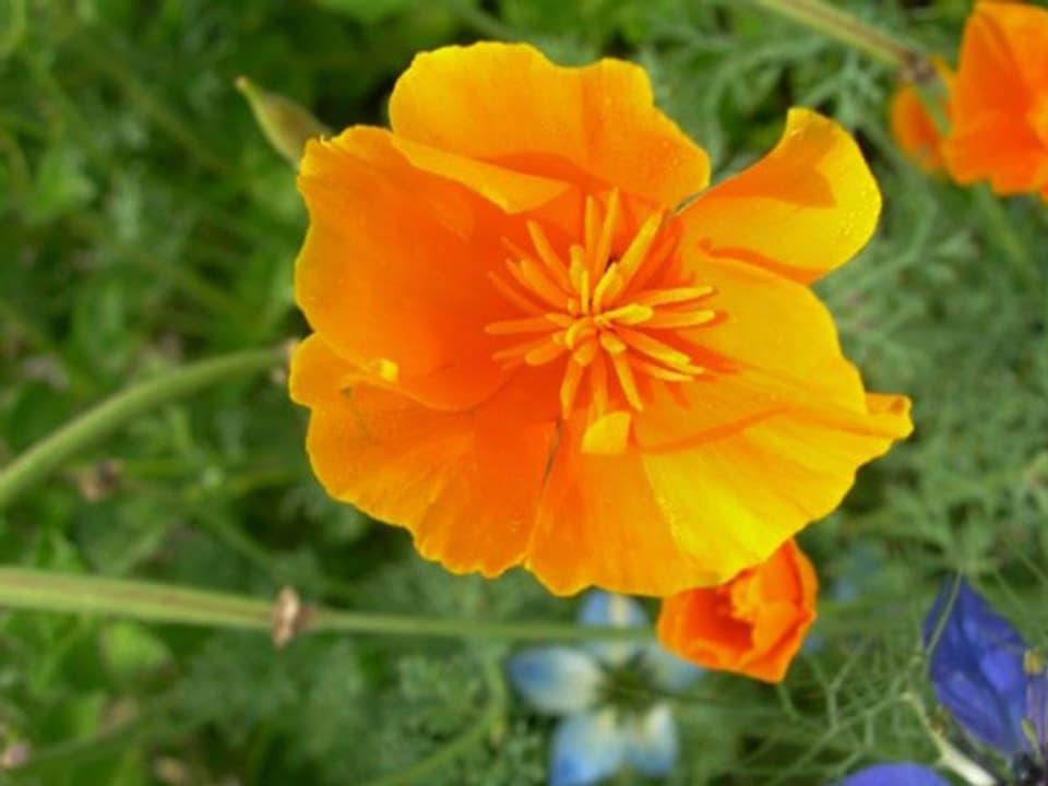 Orangener Goldmohn.
