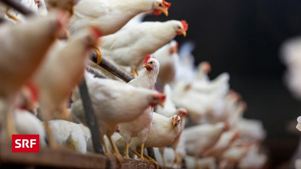 Wieviel Eier Legt Ein Huhn