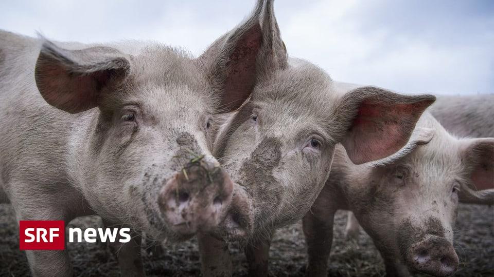 Massentierhaltungsinitiative - Nationalratskommission will Nutztiere nicht besser schützen