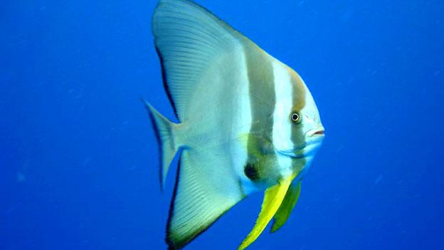 Der Fledermausfisch ist eine seltene Fischart im Korallenriff.