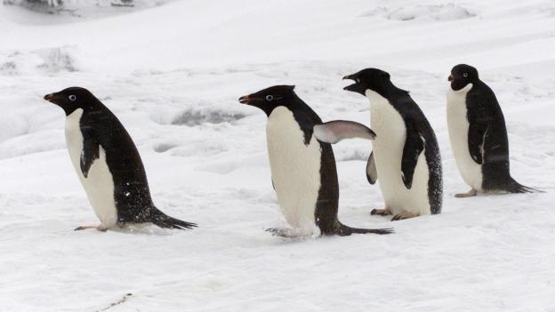 Pinguine haben einen beschränkten Geschmackssinn.