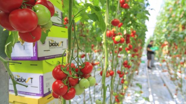 Tomatenranken