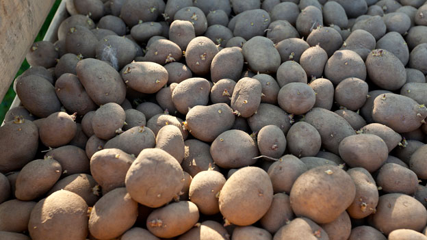 Der aggressive Pilz bedroht ganze Kartoffelfelder.