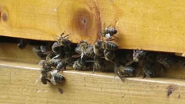 Bienen am Eingang zu einem Bienenstock.