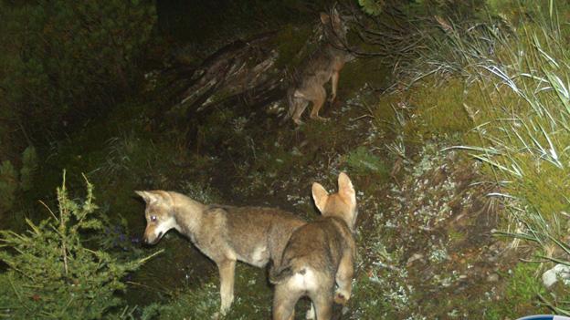 Der Bund will die Population junger Wölfe strenger kontrollieren.