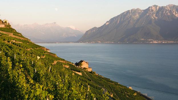 Weinberg-Terrassen am Genfersee, im Hintergrund die Alpen.