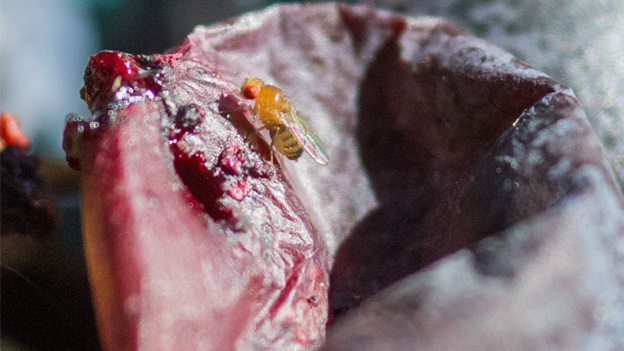 Ein Parasit auf einer Weintraube.