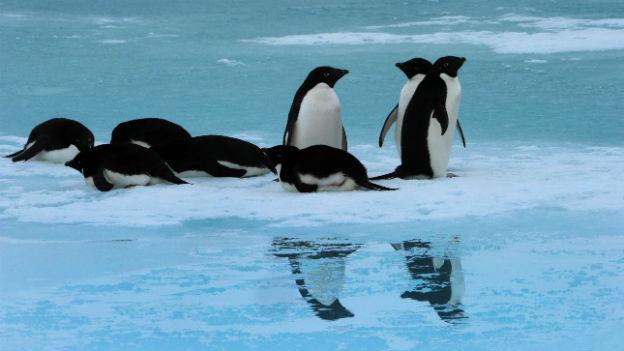Pinguine in der Antarktis.