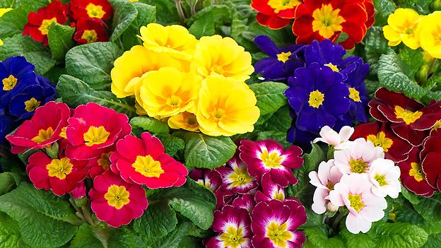 Was für eine Farbenpracht! Als Frühlingsboten sind Primeln Balsam für die Winter geplagte Seele.