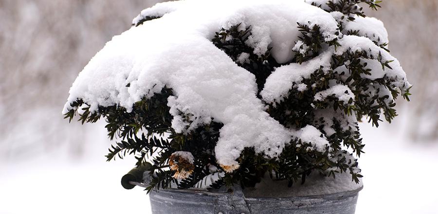 Mit Schnee bedeckte Topfpflanze