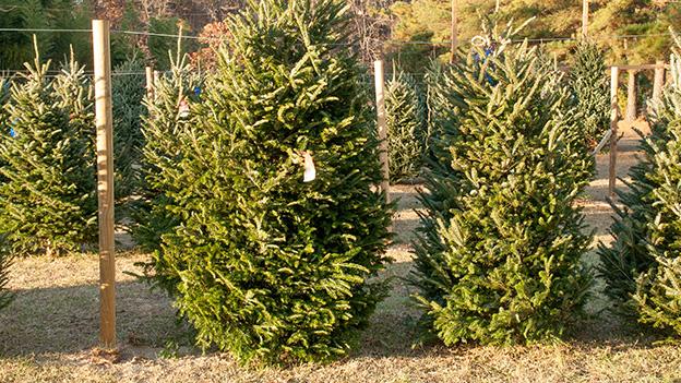 Tannenbäume auf einem Weihnachtsbaummarkt in der Nähe eines Waldes.