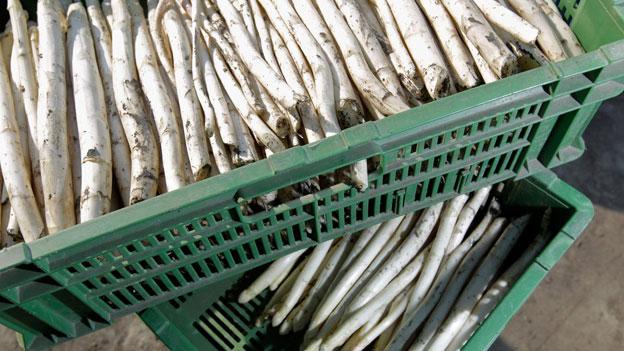 Spargel-Anbau bedeutet viel Handarbeit