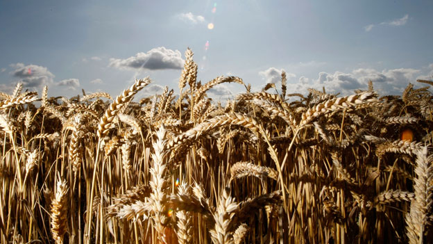 Alte Getreidesorten in Russland wiederentdeckt