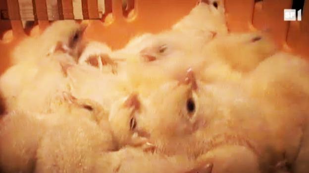 Audio «Eier-Produktion: Millionen Küken werden getötet» abspielen