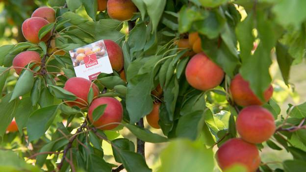 Audio «Nach dem Wein-Bschiss der Walliser Aprikosen Schwindel» abspielen