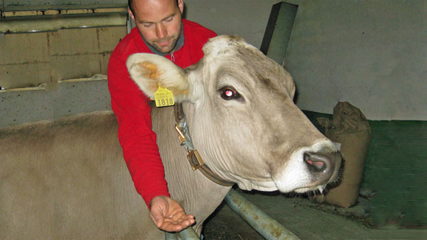 Audio «Im Kampf gegen zu viel Antiobiotika: Arnika für Schweizer Kühe» abspielen