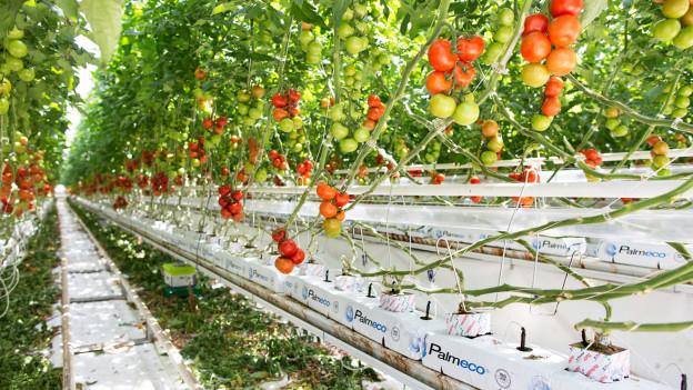 Audio «Tomaten, die nie Erde gesehen haben» abspielen