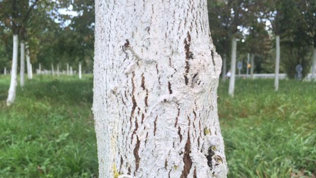 «Espresso Aha!:» Warum werden Baumstämme angemalt?