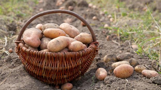 Warum haben Kartoffeln meist weibliche Namen?