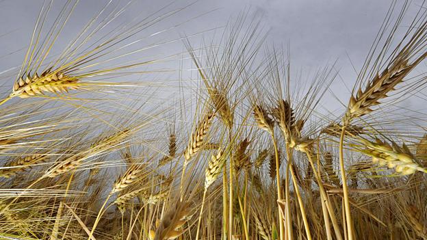 Gerste – Comeback einer alten Getreidesorte