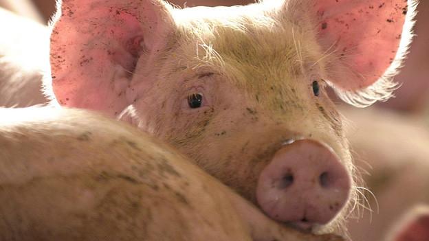 Audio «Saftiges Steak vom herzigen Schweinchen» abspielen