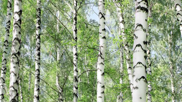 Vergessenes Naturprodukt: der Saft aus der Birke