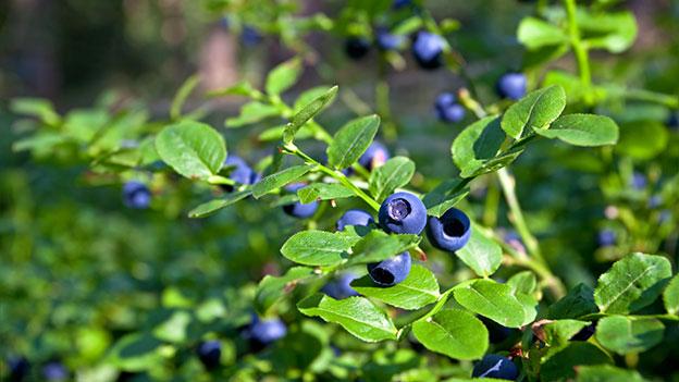 Heidelbeere, blaue Wunderkugel?