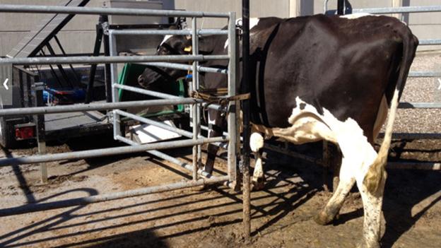 Treibhausgas bei Kühen: Neue Messmethode misst Rülpsen